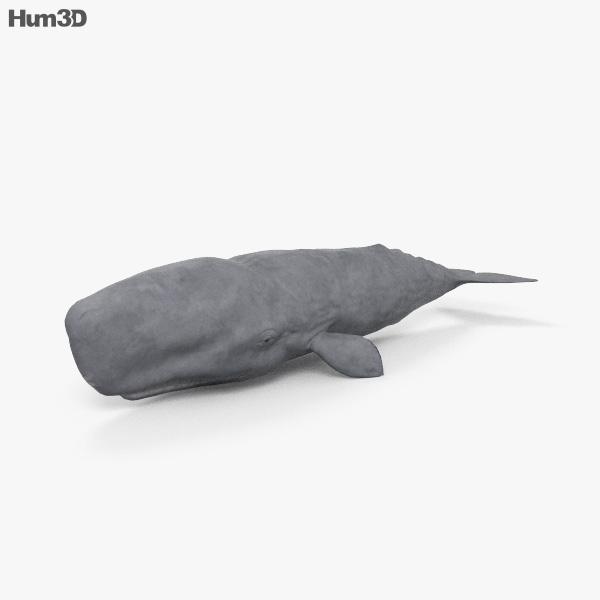 Sperm Whale HD 3D model