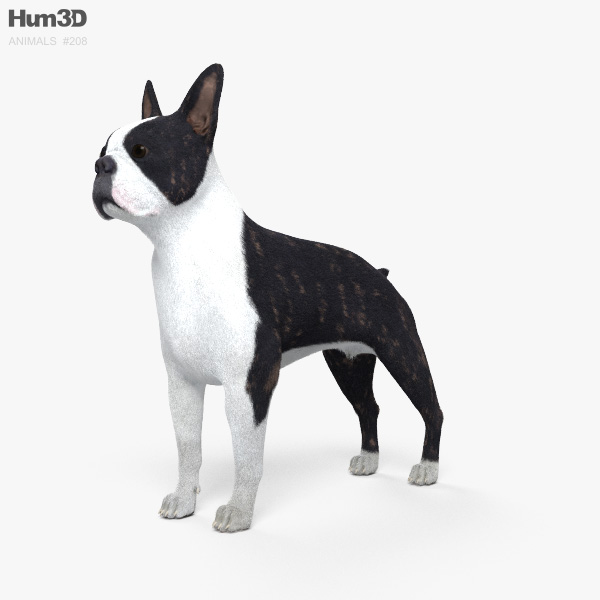 Boston Terrier HD 3D model