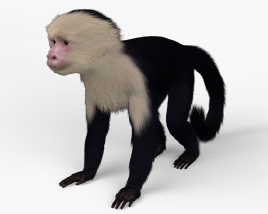 Capuchin HD 3D model