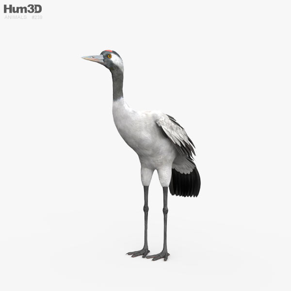 Common Crane HD 3D model