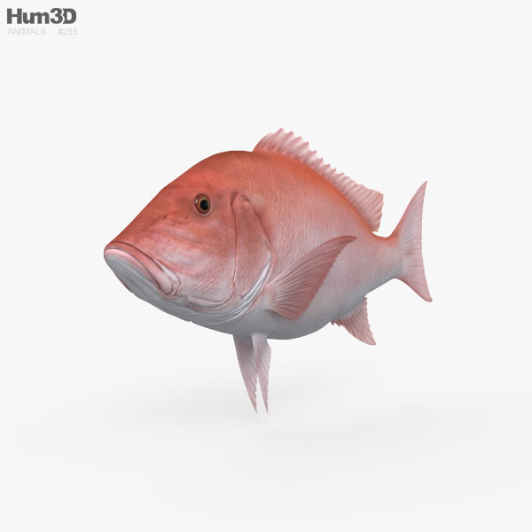 3D model of Northern Red Snapper HD