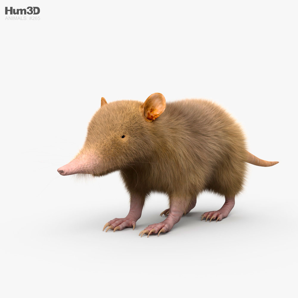 Hispaniolan Solenodon HD 3d model