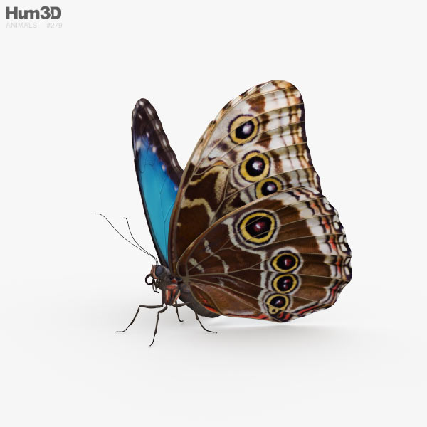 Morpho Butterfly HD 3D model