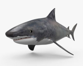 3D model of Tiger Shark HD