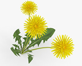 3D model of Dandelion