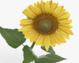 3D model of Sunflower