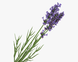 3D model of Lavender