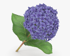 3D model of Hydrangea