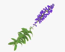 3D model of Meadow Sage