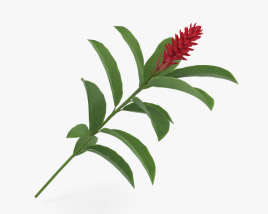 3D model of Alpinia Purpurata