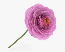 3D model of Ranunculus