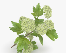 3D model of Viburnum Opulus
