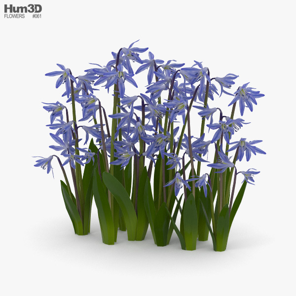 Squill 3D model
