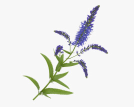 3D model of Veronica Longifolia
