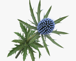 3D model of Eryngium