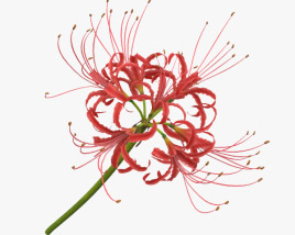 3D model of Red Spider Lily