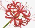 Red Spider Lily 3d model