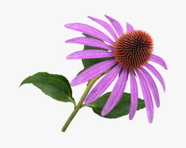 3D model of Echinacea