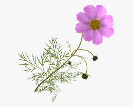 3D model of Cosmos Flower
