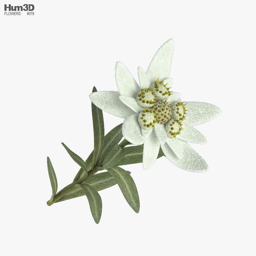 Edelweiss 3D model