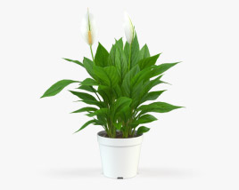 Spathiphyllum 3D model
