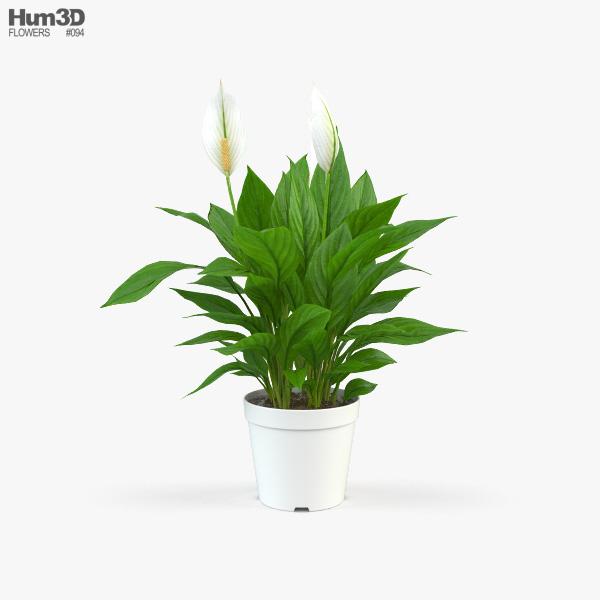 Spathiphyllum 3D model