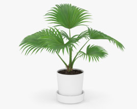 3D model of Livistona Palm