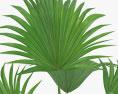 Livistona Palm 3d model