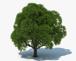 3D model of Oak Tree