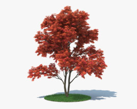 3D model of Japanese Maple