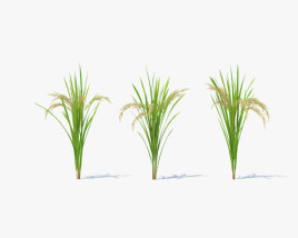 3D model of Rice Plant
