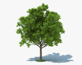 3D model of Red Oak Tree