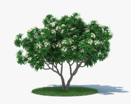 3D model of Frangipani Tree