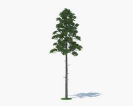 3D model of Loblolly Pine