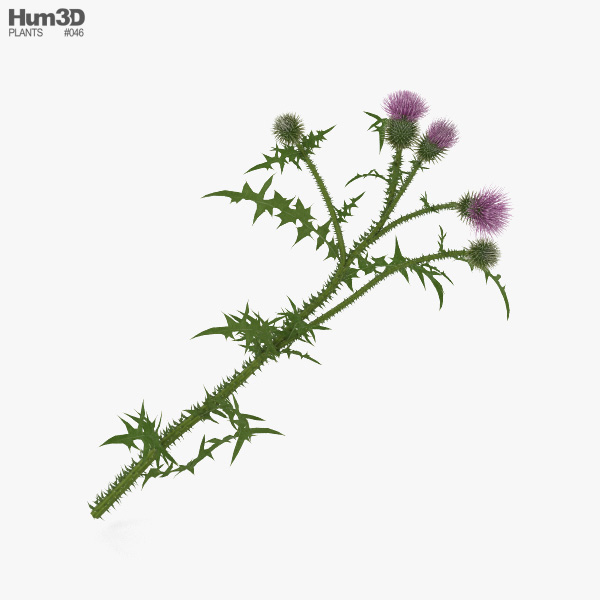 3D model of Thistle