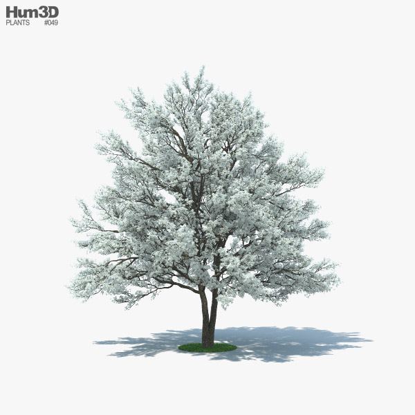 3D model of Flowering Dogwood