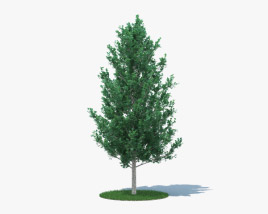 3D model of Quaking Aspen Young