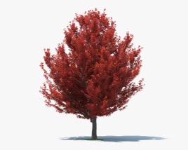 3D model of Red Maple