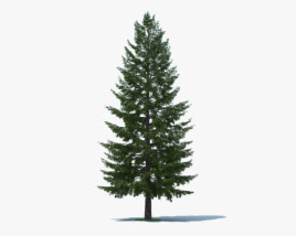 3D model of Douglas Fir
