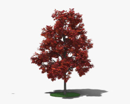 3D model of Red Maple Young