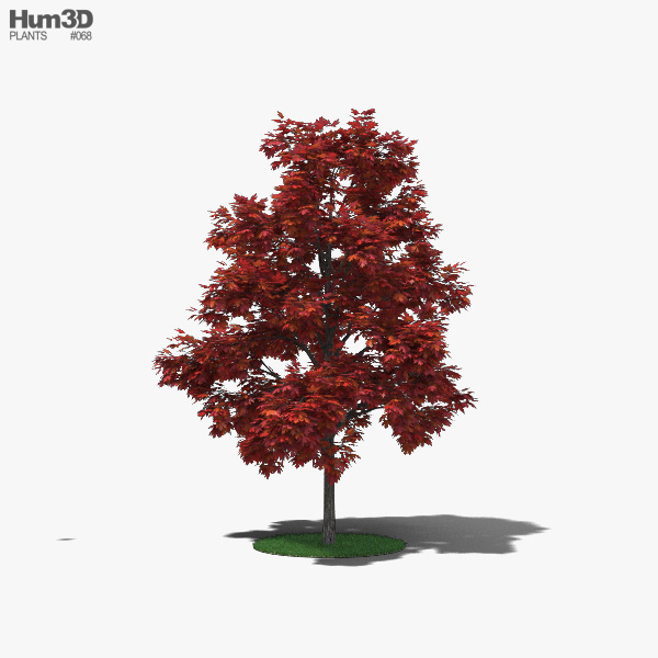 Red Maple Young 3D model