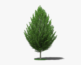 European Hornbeam 3D model