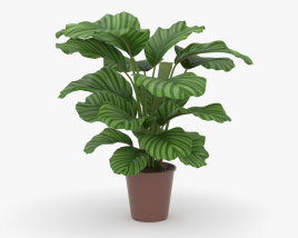 3D model of Calathea