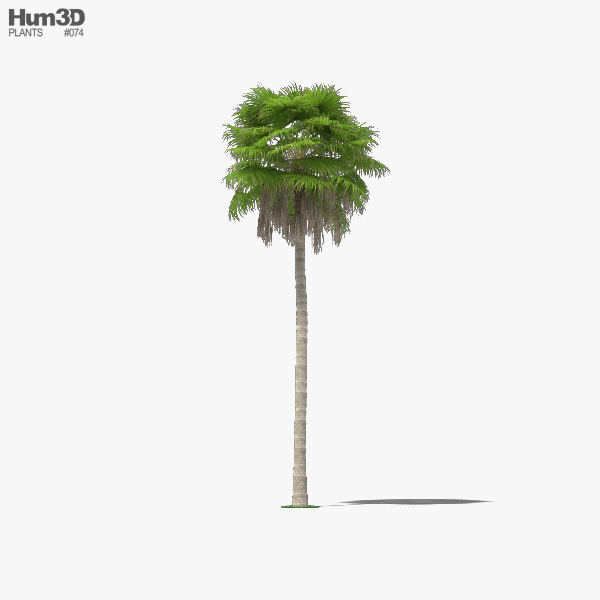 Washingtonia Robusta Palm Tree 3D model