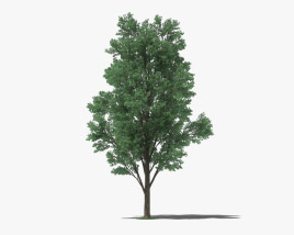 Cottonwood 3D model