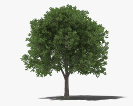 3D model of Elm Tree