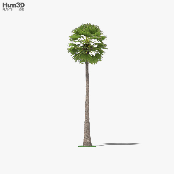 Palmyra Palm 3D model