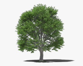 3D model of European Beech