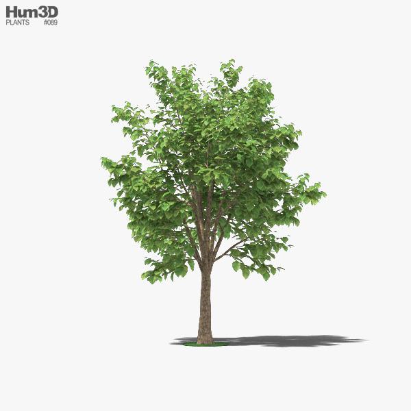 Teak Tree 3D model