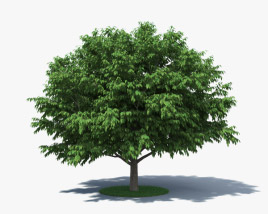 3D model of American Hornbeam